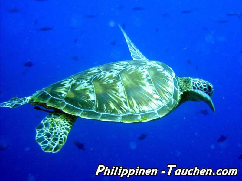 Apo Island Schildkröte