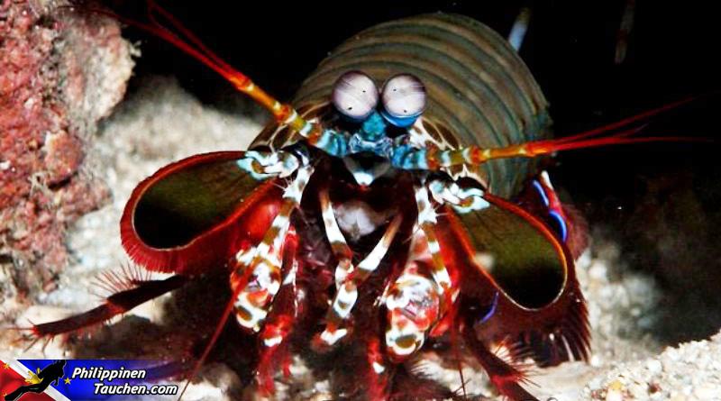 Fangschreckenkrebs in Puerto Galera